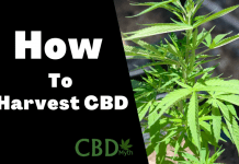 how to harvest cbd