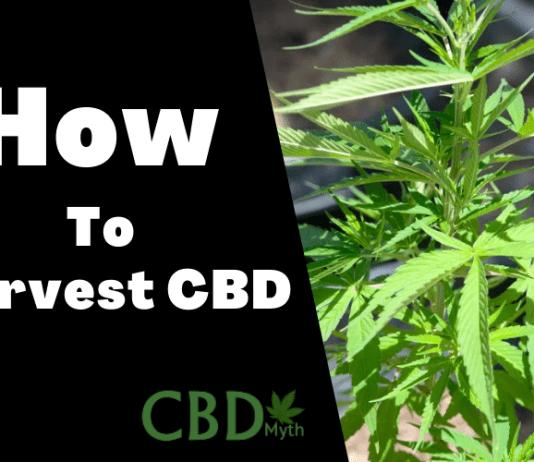how to harvest cbd